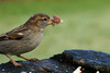 Hungry House Sparrow (Passer domesticus) (steve_whitmarsh) Tags: kintore aberdeenshire scotland nature wildlife animal birds feathers garden sparrow abigfave