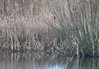 Can you see it ? (Eiona R. [back in a bit]) Tags: kingfisher newportwetlands rspb