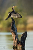 Little Pied Cormorant (danielvenema) Tags: little pied cormorant microcarbo melanoleucos brisbane queensland australia bird animal wildlife nature wetlands wetland dry wet drying