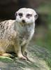 Nashville Zoo 08-21-2016 - Meerkat 18 (David441491) Tags: meerkat nashvillezoo