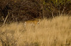 Stripes (Rupography) Tags: tiger blackyellow ranthambore rtr arrowhead royalbengaltiger rajasthantourism