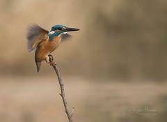 The landing. (JurgenMaassen) Tags: kingfisher alcedoatthis ijsvogel eisvogel birds birding nature canoneos7dmarkii ef100400mmf4556lisiiusm