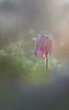 Under the sun light (donlope1) Tags: macro nature light flower fleur fritillaria sun sunrise bokeh wild dof morning