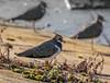 Lapwing (Helmuth of Boskone) Tags: lapwing northamptonshire pitsfordreservoir vanellusvanellus birds sunlight winter holcot england unitedkingdom gb