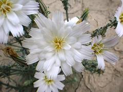 "Rafinesquia neomexicana ""desert chicory"" (Cactus Ray's Photos) Tags: hendersoncanyon"