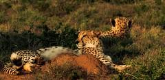Kwasuka sukela... (Coisroux) Tags: cheetah southafrica kwandwe animals safari d5500 nikond bushveld savannah closeup sunshine golden warmth sunrays sunrise dusk hss