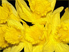 Daffodils Oiled (Cornishcarolin. Thank you for over 2 Million Views) Tags: cornwall penryn daffodils flowers nature blackbackground yellow oilfilter oil filters