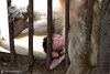 13-03-17 Thailandia (198) R01 (Nikobo3) Tags: asia thailandia lopburi ciudaddelosmonos phraprangsamyod animales animals travel viajes templos nikon nikond800 d800 nikon247028 nikobo joségarcíacobo
