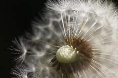 DENTDELION S'inventent un mode à part-lightness in the air.invited bokeh nature (FLOCVROFF) Tags: dentdelion gouttes macro 50mm canon nature pluie rosee bokehnature dandelion