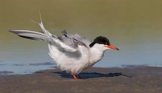 Common Tern Nickerson beach ny_3