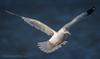 Ring-billed Gull (Kevin James54) Tags: larusdelawarensis nikond850 ringbilledgull tamron150600mm wilmington animals avian bird fortfisher gull kevingianniniphotocom