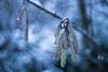 Winter for one Day (ursulamller900) Tags: trioplan2950 hazel haselnuss mygarden bokeh blue winter