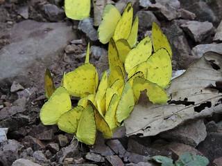 Longtan/龙潭 - Eurema hecabe/Common Grass Yellow/宽边黄粉蝶 DSCN8142