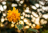 Winterschönheit (boehmischedoerfer) Tags: blume gelb sonnenuntergang flower yellow zluta grün zelena green blatt blüte