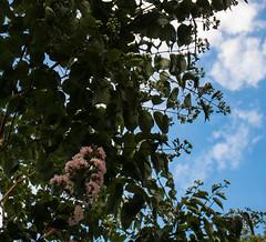 XX20170831a6604Bias-1 stop-HDR-2.jpg (rachelgreenbelt) Tags: ghigreenbelthomesinc usa eudicots familylythraceae ordermyrtales ouryard rosids greenbelt northamerica midatlanticregion maryland americas lythraceae lythraceaefamily magnoliophyta floweringplants myrtales myrtalesorder spermatophytes lagerstroemiagenus