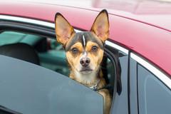 Guard Dog (Thomas Hawk) Tags: bargainmarket bayarea california eastbay groceryoutlet oakland usa unitedstates unitedstatesofamerica westcoast auto automobile car dog parkinglot us fav10 fav25 fav50