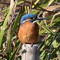 Kingfisher #1 (MJ Harbey) Tags: bird kingfisher malekingfisher nikon d3300 nikond3300 hemelhempstead watergardens alcedoatthis hertfordshire