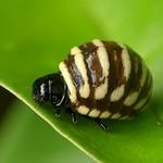 Leaf beetle larva, Platyphora sp.? thumbnail