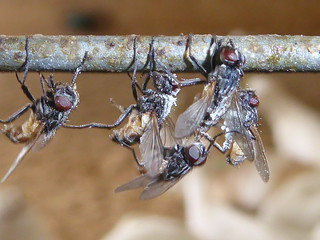 Flies killed by Fungi