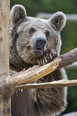Young bear on the tree (Tambako the Jaguar) Tags: syrian brown bear male young portrait posing holding branch tree wood servion zoo switzerland nikon d5