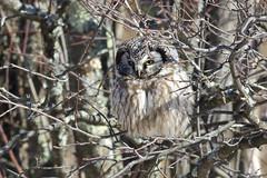 Boreal Owl (Natures Joy Photography) Tags: twoharbors mn borealowl boreal owl boow strigiformes aegoliusfunereus
