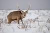 Sika Deer Stag (fascinationwildlife) Tags: animal mammal wild wildlife winter snow cold sika deer stag male antler hirsch buck notsuke peninsula japan asia north northern hokkaido