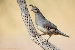Gambel's Quail (Matt Shellenberg) Tags: gambels quail gambelsquail arizona desert matt shellenberg