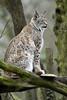 Luchs (Michael Döring) Tags: gelsenkirchen bismarck zoomerlebniswelt zoo luchs lynx afs600mm40e d850 michaeldöring