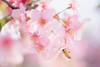 Sakura (Cheng Yang, Chen) Tags: 后里 河津櫻 sakura cherryblossoms bee bokeh taiwan taichung macro 台中 櫻花 微距 河津桜