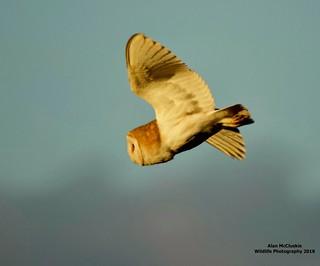 Barn Owl (Tyto alba)In