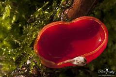 Scarlet elf cup (gelein.zaamslag) Tags: holland thenetherlands zeeland zeeuwsvlaanderen braakman fungi fungus paddenstoel paddestoel zwam rodebekerzwam mushroom mushrooms sarcoscyphacoccinea macro macrophotography nikon geleinjansen red green nature forest bos