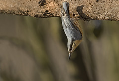 Nuthatch - Just hanging aroud (Ann and Chris) Tags: avian amazing adorable bird cute feathers gorgeous incredible stunning wildlife nuthatch middletonlakes