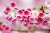 ピンク色の桜 (YUSHENG HSU) Tags: きれい フローラル romantic ロマンチック copy beauty space botany フラワー ロマンティック sakura plant ビューティー 空白 sunshiny closeup flower 咲く クローズアップ スペース romance 台北 vivid pink botanical happy さくら spring 満開 copyspace nature 接写 background バックグランド 自然 macro ピンぼけ backdrop コピー 台湾 ボケ defocused 桜 ぼかし bokeh cherry blossom blur ぼやけた 背景 natural taiwan joyful サクラ taipei vibrant マクロ 植物 cheerful material 綺麗 春 花 flora beautiful 余白 美しい bright バックグラウンド 背景素材 happiness bloom 素材 floral blank