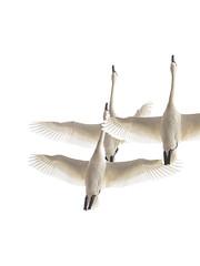 Tundra Swans (Nature as Art Photography) Tags: birds middlecreek pennsylvania wildlifemanagementarea