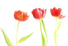 Tulips (Xtraphoto) Tags: drei three flowers flower blumen blume unschärfe unsharpness bokeh tulpen tulip rot red