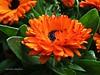 Calendula 057 (adioslunitaadios) Tags: viverosalegre calendula pétalos pétalosnaranja plantasyflores macro fujifilm airelibre jardín campo armoníaennaranja flores