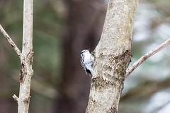 arcadia2018-82 (gtxjimmy) Tags: nikond7200 nikon d7200 tamron 150600mm bird new england arcadia wildlife sanctuary audubon society mass audubbon massachusettseasthamptonbird woodpecker hairywoodpecker
