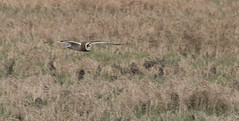 Short Eared Owl-7145 (WendyCoops224) Tags: winterwatch 100400mml 80d fens canon eos ©wendycooper asio flammeus short eared owl