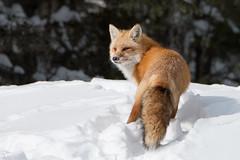 American Red Fox (NicoleW0000) Tags: redfox wild wildlife fox animal carnivore predator winter snow woods outdoors ontario canada