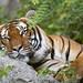 Comfortable Malalyan tiger