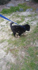 21430158_10213829095628512_8392063558849925836_n (natedetienne) Tags: ash tibetan mastiff puppy tm