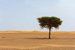 Lonely (Nicolas Bussieres (Lost Geckos)) Tags: desert sahara morocco dunes tree