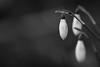Winter season. (Dikke Biggie.) Tags: 52in2018 2winter winter snowdrop snowdrops fairmade sneeuwklok sneeuwklokjes winterflower winterflowers winterbloem winterbloemen flower flowers bloem bloemen landgoedtewerve rijswijk macro closeup detail dof depthoffield scherptediepte bokeh canon canoneos450d 100mm f28 blackandwhite bw black white zwartwit zw zwart wit monochrome monochroom dgawc canonnl