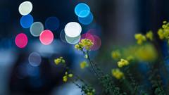 Fujinon EBC 50mm ƒ/1.4 - DSCF4722 (::Lens a Lot::) Tags: night light paris | 2016 fujinon ebc 50mm ƒ14 6 blades m42 f14 flower bokeh depth field color yellow green white vintage manual japanese prime lens extérieur profondeur de champ fleur plante brillant effet flou