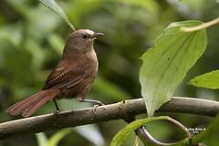 Cucarachero- Cinnycerthia olivascens- SHARPE'S WREN (Carlos Alberto Arias A.) Tags: cinnycerthia olivascens sharpes wren cucarachero bird canon7d markii parque nacional nevados