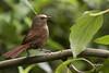 Cucarachero- Cinnycerthia olivascens- SHARPE'S WREN (Carlos Alberto Arias A.) Tags: cinnycerthia olivascens sharpes wren cucarachero bird canon7d markii parque nacional nevados aire libre