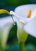 Dewdrop (mikeSF_) Tags: california bigsur monterey calla lily lilly doud creek beach flower flowers pentax a120 macro 120mm f4wwwmikeoriacom