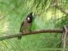 Himalayan Bulbul (Aves Tennantus) (gilgit2) Tags: avifauna birds canon canoneos7dmarkii category fauna feathers geotagged haripur himalayanbulbulavestennantus imranshah kpk location neelankhas pakistan species tags tamron tamronsp150600mmf563divcusd wildlife wings gilgit2 avestennantus pycnonotusleucogenys