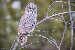 Great Gray Owl (Strix nebulosa) in Grand Teton National Park (Jim Frazee) Tags: greatgrayowl strixnebulosa grandtetonnationalpark