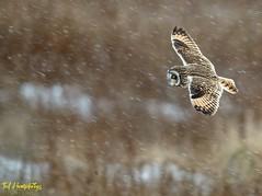 The hunt must go on despite a blizzard (Ted Humphreys Nature) Tags: shortearedowl owls raptors birdsofprey england tedhumphreysnature